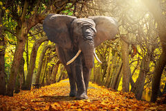 Elephant walking on autumnal alley royalty free stock photo