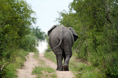 Elephant Walking Away Royalty Free Stock Images