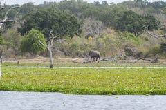 Elephant in Yala National Park, Sri Lanka stock images