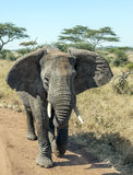 Elephant walking Royalty Free Stock Image