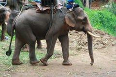 A elephant walking. A big male elephant walking Royalty Free Stock Images