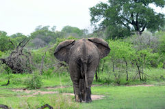 Elephant walking into bush Stock Photo