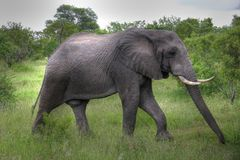 Elephant walking through the bush. Eating Royalty Free Stock Photos