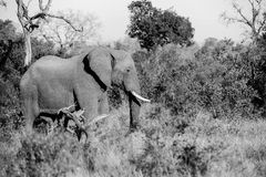 Elephant walking in the Bush. Large Elephant walking in the Kruger park Bush in Black and white royalty free stock photography