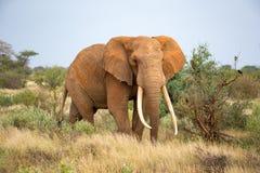 An elephant is walking between the bush stock image