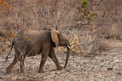 Elephant walking  Between the bushes Royalty Free Stock Photo
