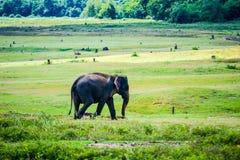 Elephant Royalty Free Stock Image