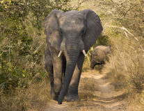 Elephant Walking On Dirt Road. An African bull elephant (loxodonta africana) walking down a narrow dirt road is alertly watching our vehicle. African elephants Stock Photo