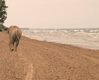 Elephant walking down a beach Royalty Free Stock Images