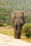 Elephant walking down a gravel road. Elephant walking on the verge of a gravel road with its trunk curled up Royalty Free Stock Images
