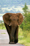 Elephant walking down road. In the Pilanesberg Reserve near Sun City (South Africa Royalty Free Stock Photo