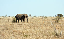 Elephant walking on dry veld Royalty Free Stock Photos