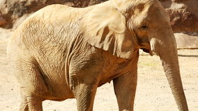 Elephant walking by through dusty scene searching for food stock video footage