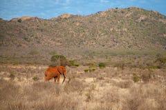 Elephant is walking. In the savannah Stock Photo