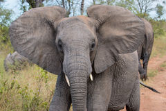 Elephant walking through a field in Kruger National Park Royalty Free Stock Photography