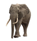 Elephant walking front view. Elephant approaching isolated front view Stock Images