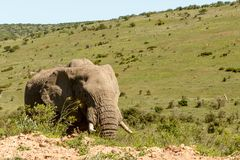 Elephant walking between the grass Royalty Free Stock Photography