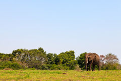 Elephant walking on  grassland Stock Photos