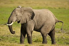 Elephant in the Savannah Stock Images