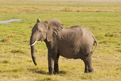 Elephant in the Savannah Stock Image