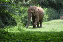 Elephant walking on grass Stock Photography
