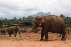 Elephant walking in the jungle on the mountain and trees background stock photos