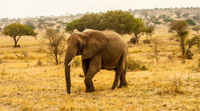 Elephant walking through landscape. Elephant walking around the landscape Stock Image