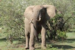Elephant walking the Mara Stock Photos