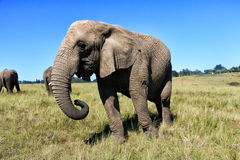 Elephant walking on the meadow, South Africa Stock Image