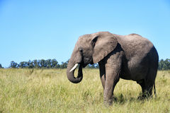 Elephant walking on the meadow, South Africa Stock Photo