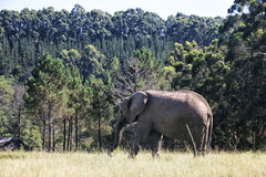 Elephant walking on the meadow, South Africa Stock Photos