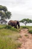 Elephant walking Stock Image