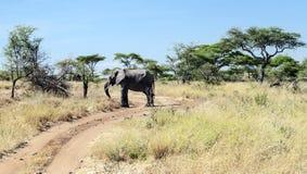 Elephant walking Royalty Free Stock Image
