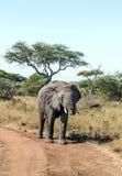 Elephant walking Royalty Free Stock Photos