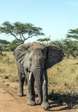 Elephant walking Royalty Free Stock Images