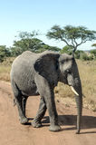 Elephant walking Royalty Free Stock Photo