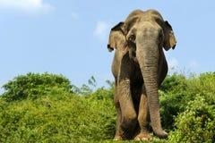 Elephant walking in national park. Asian elephant walking in national park in Sri Lanka royalty free stock image