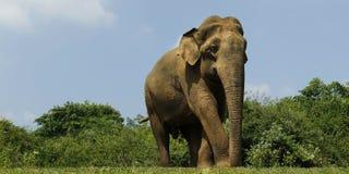 Elephant walking in national park. Asian elephant walking in national park in Sri Lanka stock photography