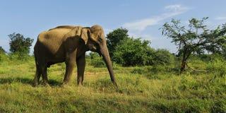 Elephant walking in national park. Asian elephant walking in national park in Sri Lanka royalty free stock photos