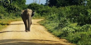 Elephant walking in national park. Asian elephant walking in national park in Sri Lanka royalty free stock images