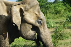 Elephant walking in national park. Old aAsian elephant walking in national park in Sri Lanka stock photography