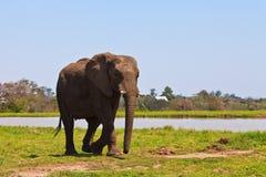 Elephant walking  near water Royalty Free Stock Photo