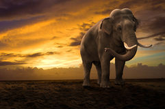Elephant walking outdoor on sunset. Collage Royalty Free Stock Photography