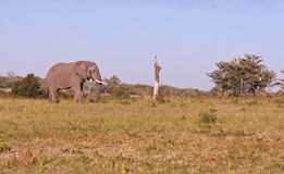 Elephant walking over grass planes Royalty Free Stock Image