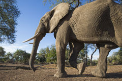 Elephant walking past Stock Images