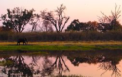 Elephant walking on riverbank during sunset. One Elephant walking on riverbank during sunset. The reflection of the trees are visible in the river. Location royalty free stock image