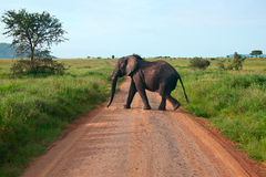 Elephant walking on a road Stock Photo