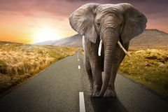Elephant walking on the road. At sunset royalty free stock photography