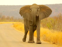 African animals. Elephant walking on the road Stock Image