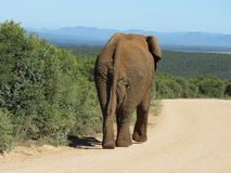 Elephant. An elephant walking on the road in the Addo Elephant National Park Stock Photography